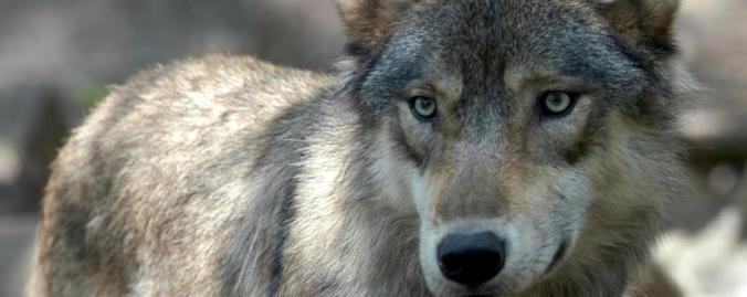 grey wolf Tess